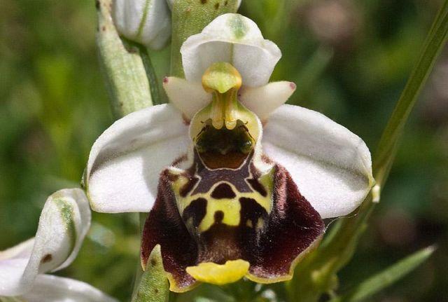 ophrys holosericea ssp. dinarica (R. Kranjcev & P. Delforge) Kreutz