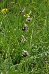 Ophrys holosericea subsp. linearis (Moggr.) Kreutz