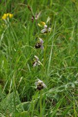 Ophrys holosericea subsp. linearis (Moggr.) Kreutz