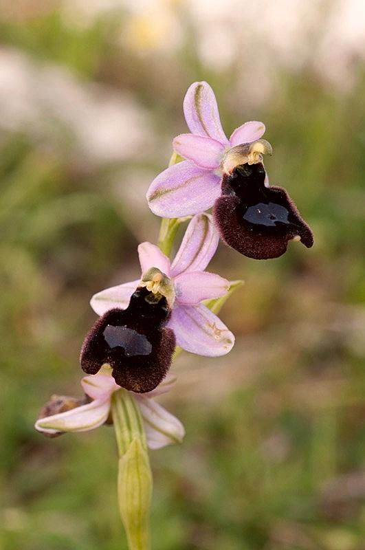 Ophrys x lupiae O. Danesch & E. Danesch