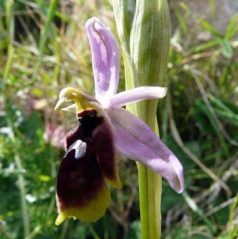 Ophrys lunulata Parl.