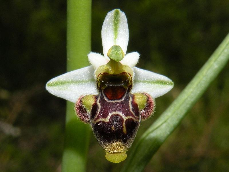 Ophrys scolopax Cav. Subsp. scolopax