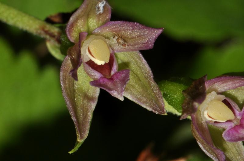 Epipactis placentina Bongiorni & Grùnanger