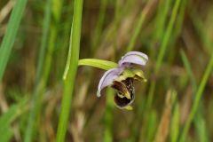 Ophrys scolopax subsp. cornuta (Steven) E.G. Camus
