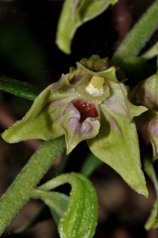 Epipactis leptochila (Godfery) Godfery