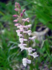 Gymnadenia odoratissima (L.) Rich.