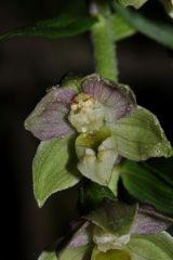 Epipactis helleborine subsp. orbicularis (K. Richt.) E. Klein