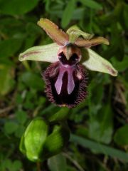 Ophrys incubacea subsp. incubacea Bianca
