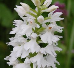 Dactylorhiza maculata (L.) Soò subsp. fuchsii (Druce) Hyl.