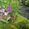 Dactylorhiza majalis (Rchb.) P.F. Hunt & Summerth.