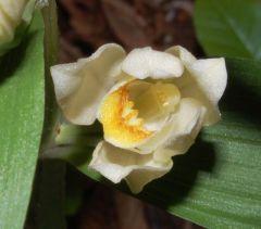 Cephalanthera damasonium (Miller) Druce