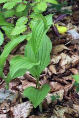 Cypripedium calceolus L.