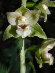 Epipactis helleborine (L.) Cranz subsp. tremolsii (Pau) E. K