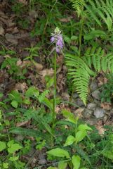 Dactylorhiza maculata (L.) subsp. saccifera (Br.) Dik.