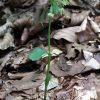 Epipactis persica subsp. gracilis (B. Baumann & H. Baumann) W. Rossi