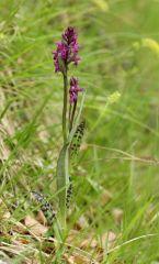 Dactylorhiza lapponica subsp. rhaetica H.Baumann & Lorenz