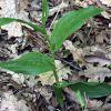 Cephalanthera damasonium (Mill.) Druce