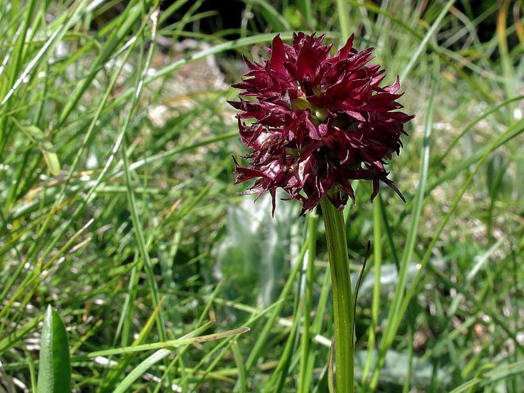 Nigritella nigra subsp. austriaca Teppner & E. Klein