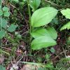 Malaxis monophyllos (L.) Sw.