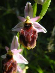 Ophrys panattensis Scrugli, Cogoni & Pessei