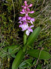 Orchis mascula (L.) L. subsp. ichnusae Corrias