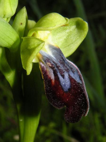 Ophry iricolor subsp. maxima (A. Terracc.) Paulus & Gack