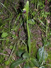 Ophrys iricolor subsp. maxima (A. Terracc.) Paulus & Gack