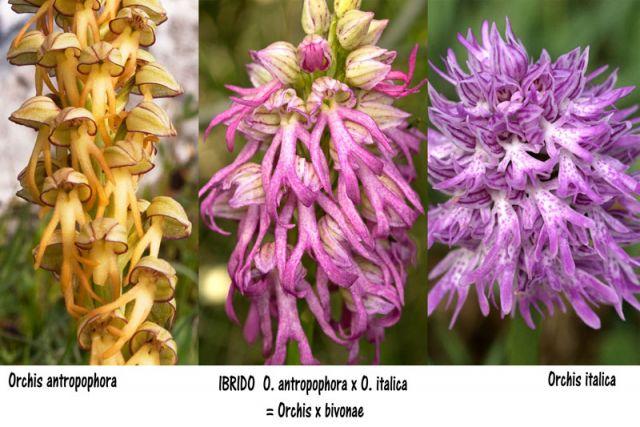 Orchis x bivonae (Tod.) Soò