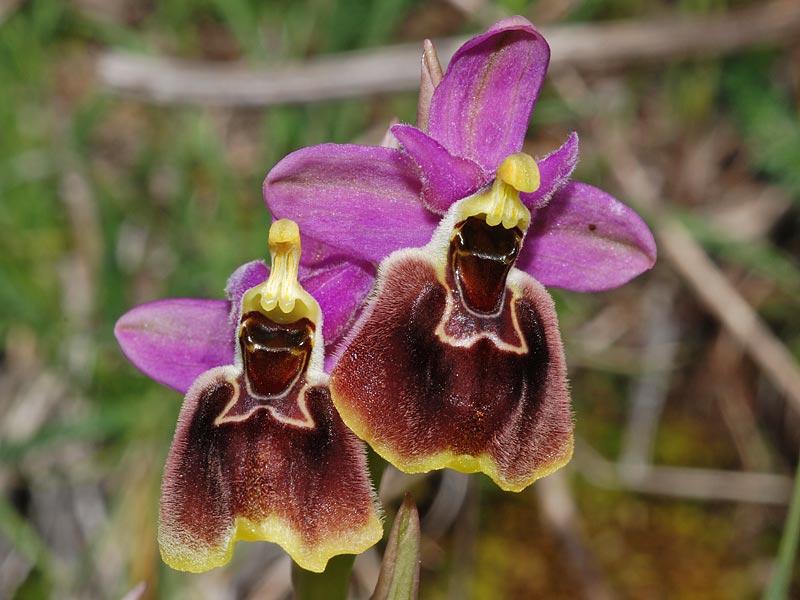 Ophrys x montis-angeli O. Danesch & E. Danesch