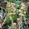 Neottia nidus-avis (L.) L.C.Rich.
