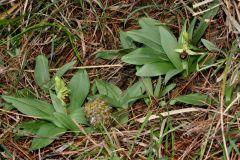 Ophrys sphegodes subsp. massiliensis (Viglione & Vèla) Kreutz