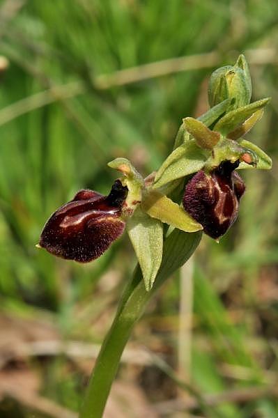 Ophrys exaltata subsp. arachnitiformis