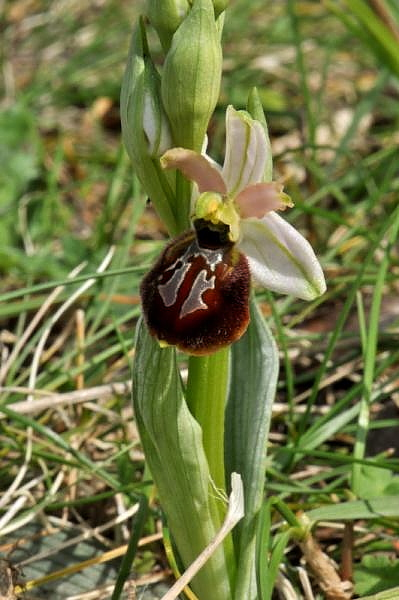 Ophrys exaltata subsp. arachnitiformis (Gren. & Philippe) Del Prete