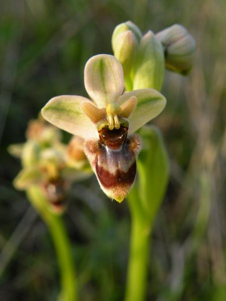 Ophrys x sommieri E. G. Camus ex Cortesi