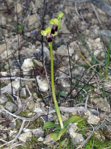 Ophrys fusca subsp. lucifera (Devillers Tersch. & Devill