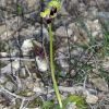 Ophrys fusca subsp. lucifera (Devillers Tersch. & Devillers) Kreutz