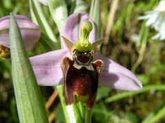 Ophrys x domus-maria M.P. Grasso