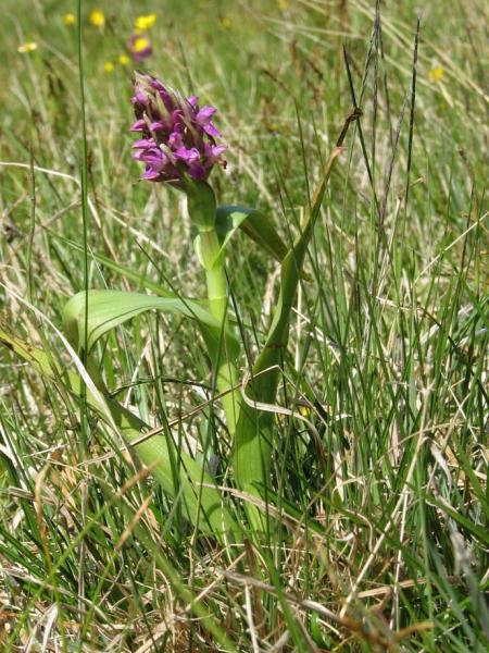 Dactylorhiza incarnata var. immaculata Romolini & Sodi