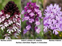Neotinea x dietrichiana (Bogenh.) H. Kretzschmar Eccarius &a