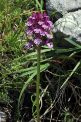 Neotinea x dietrichiana (Bobenh.) H. Kretzschmar Eccarius & H. Dietr.