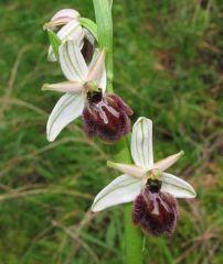 Ophrys exaltata subsp. exaltata Ten.