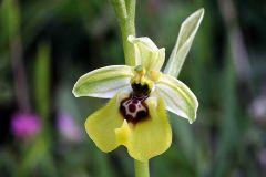 Ophrys lacaitae Lojac.