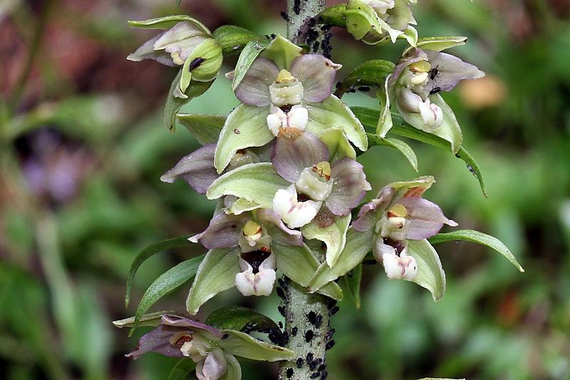 Epipactis helleborine subsp. orbicularis (K. Richt.) E. Klei