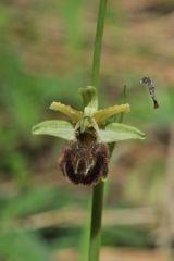 Ophrys argentaria Devillers-tersch. & Devillers