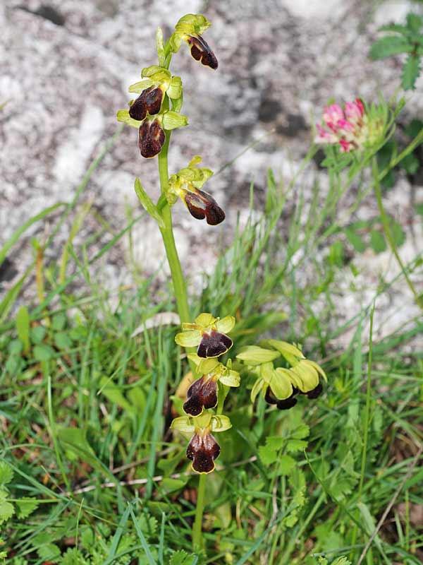 Ophrys fusca subsp. lucana (P. Delforge, Devillers-Tersch. & Devillers) Kreutz