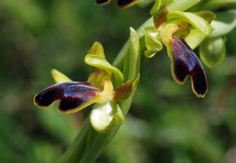 Ophrys fusca subsp. funerea (Viv.) Arcang.