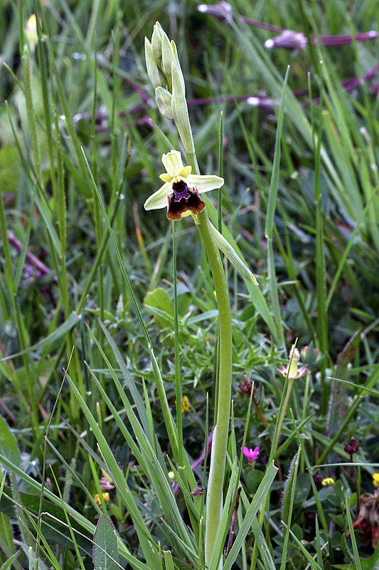 Ophrys holosericea subsp. posidonia (P. Delforge) Kreutz