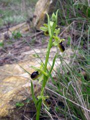 Ophrys araneola subsp. araneola Rchb.