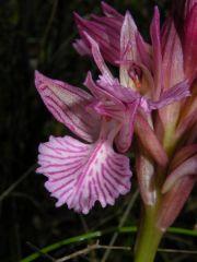 Anacamptis papilionacea (Poir.) R.M. Bateman, Pridgeon & M.W. Chase
