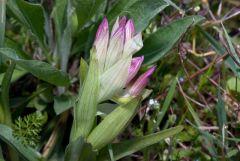 Anacamptis papilionacea (L.) R.M. Bateman, Pridgeon & M.W. Chase